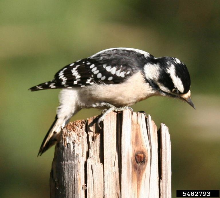 an analysis of the downy woodpecker in the united states and southern canada The downy woodpecker (dryobates pubescens) is a species of woodpecker, the smallest in north america  their range consists of most of the united states and canada, except for the deserts of the southwest and the tundra of the north.